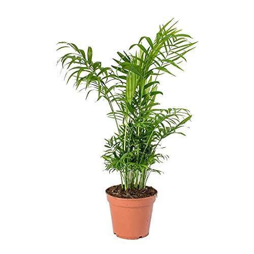 Chamaedorea Elegans Palmera de Salón Camadorea Palmera de Interior Planta Natural